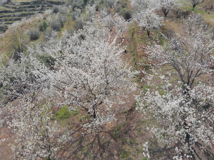 Cerezosflor-4k-video
